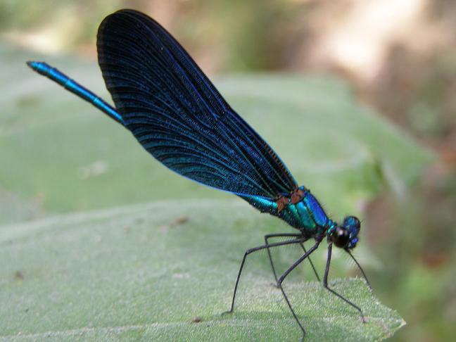 Blue dragonfly on Corfu
