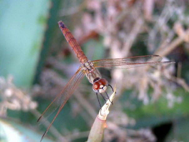 Rose dragonfly on Corfu