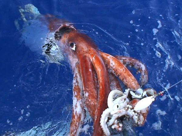 the-colossal-squid