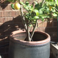 Tips for Growing Citrus in Pots