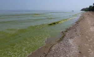 cyanobacteria1