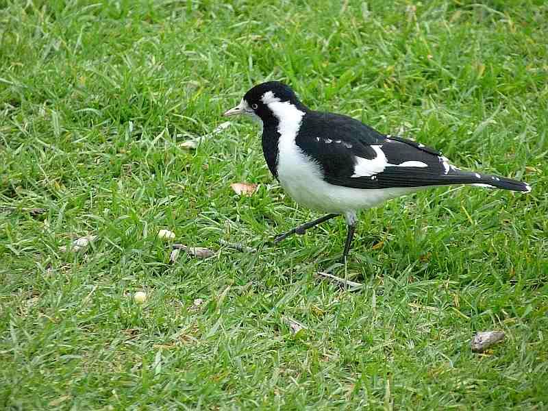 Female Magpie-Lark in Melbourne