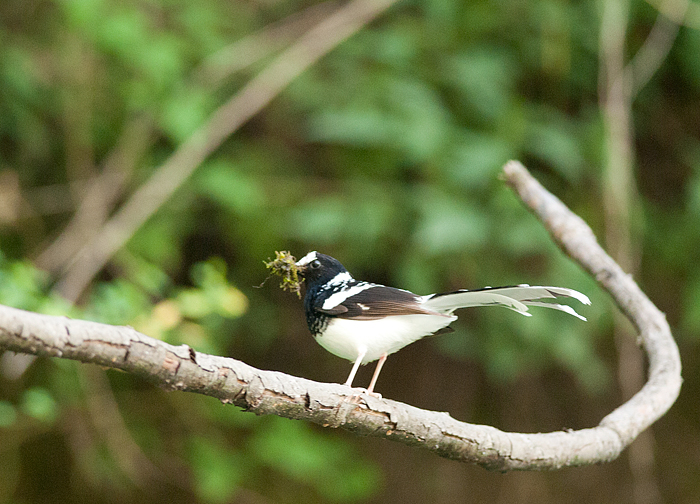 Spotted Forktail by the roadside near Neuli