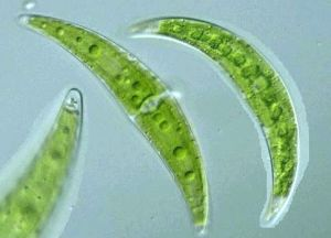 moniliferum 300x216 Green Algae Able to Eliminate Radioactive Strontium from Water and Nuclear Waste