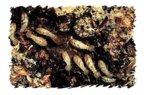 WA Termites 300x194 Gut of Western Australia Termites May Be Key in Biofuel Development