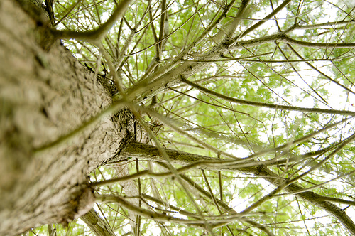 Eco Rabbi: Parshat Vayigash – Jacob's Cedars