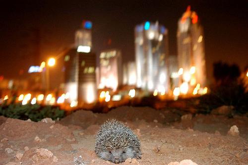 yuvel-chen hedgehog hedgehogs tel aviv israel photo