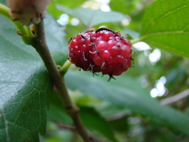 RECIPE: Mulberry Chutney