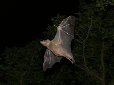 "Egyptian ""Sonar"" Bats Have Very Positive Environmental Roles"