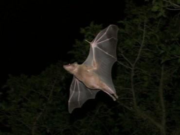 "Egyptian ""Sonar"" Bats Have Very Positive Environmental Roles"