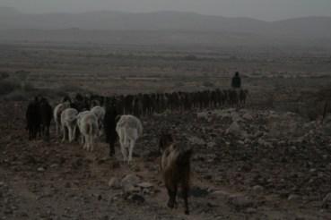 Organic Goat Herding through WWOOF: The Podcast