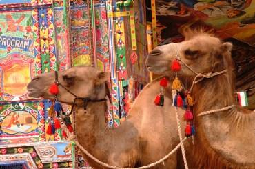 Half of UAE's Falaj Mualla Camels Choked on Plastic Bags