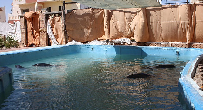 Four Dolphins Living In A Filthy Egyptian Pool 1/10 Of Acceptable Size