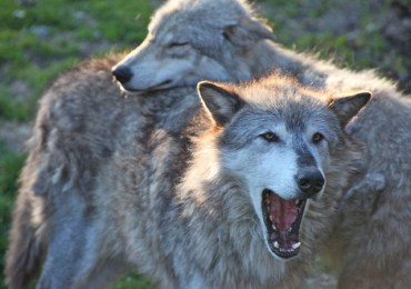 Jordan's Gray Wolves Are Hunted, Poisoned, and Run Over
