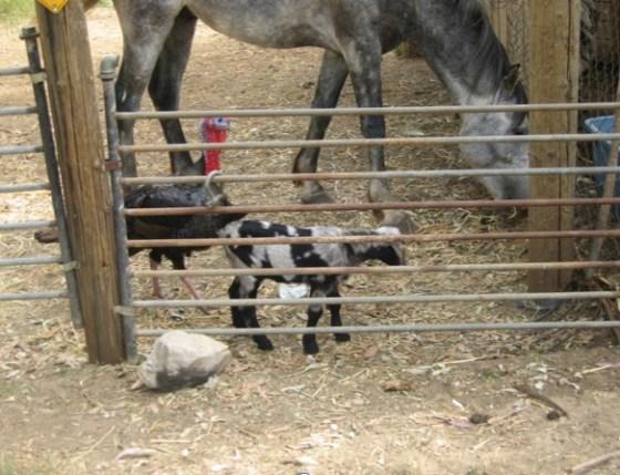 goats israel