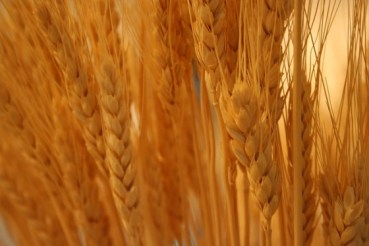 Egypt To Grow A New Generation Of Wheat, But Where?