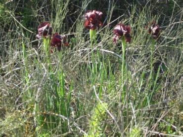 The Wild Winter Iris in Israel