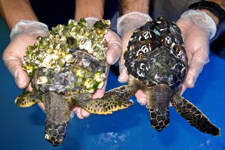 Record Number Of Starving Turtles Received At Dubai Rehab Center