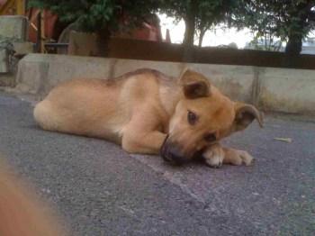 stray lebanon dog