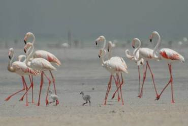 Greater Flamingos Return to Abu Dhabi Wetlands and Hopefully to Bu Tinah