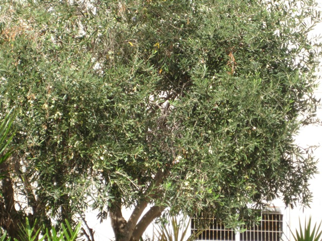 Preserving Olives the Green Prophet Way