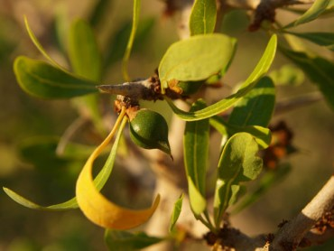 Argan Oil: Expert Estimates About 20,000 Trees in Israel