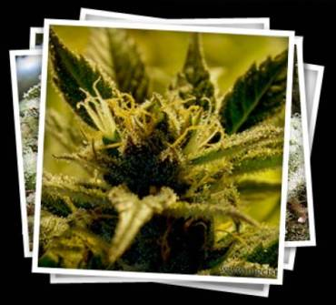 Israel Relaxes Regulations On Medical Marijuana