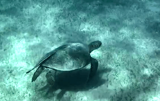 Swiss Scientist Films 3-Legged Turtle in Egypt
