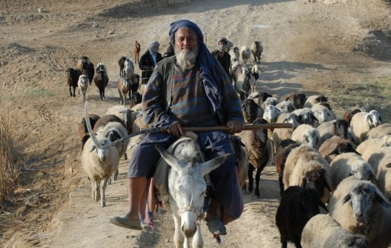 afghan sheep farmer