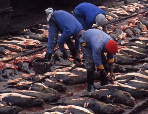 Tourism Boycott Heats up as Namibia Prepares to Kill 91,000 Seals