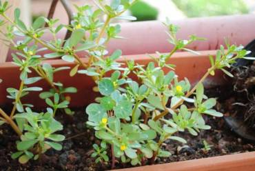 Weekly Vegewarian Recipe: Purslane, Summer's Wild Edible