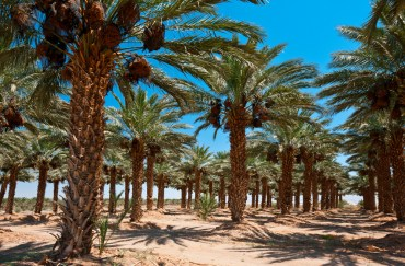 Date Palms, Palmaculture and Greening the Middle East (INTERVIEW)