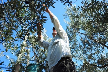 Olive Season is Here: Buy Local or DIY