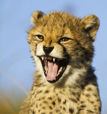 Cheetahs in Iran on the Brink of Extinction