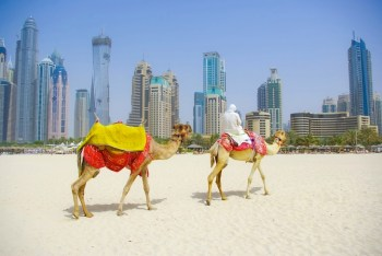 camels in front of dubai