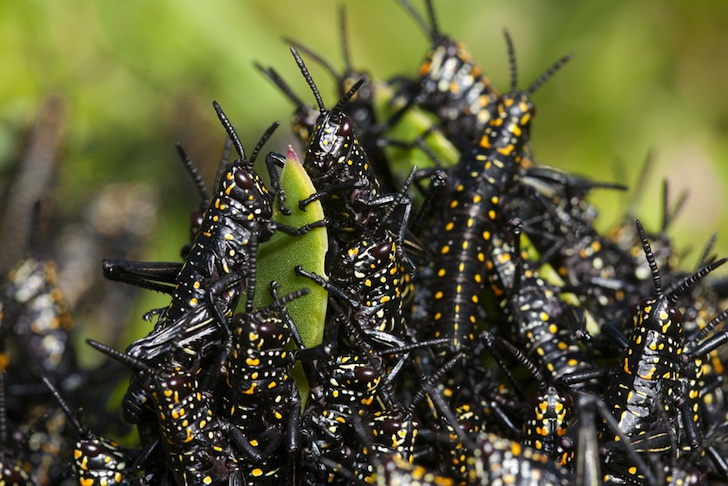 Swarms! Plague of locusts could be breeding near you