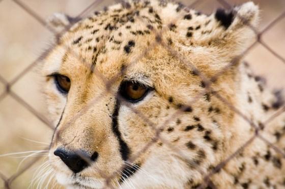 Cheetah behind a cage