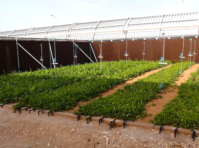 greening the desert, Sahara Forest Project, saltwater greenhouses, barley in the desert, Qatar, Middle East, food security, water scarcity, desertification