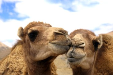 Europe Laps up Dubai's Camel Milk Beauty Bars
