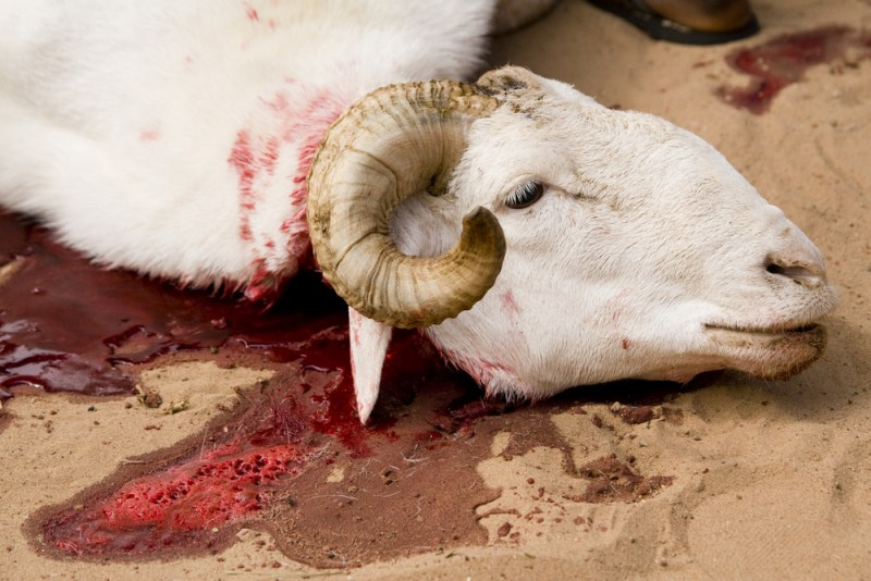 Eco and Halal the Islamic Rite of Animal Sacrifice Qurbani