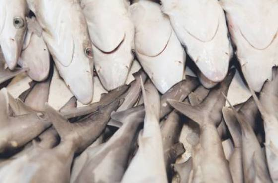 Arab action on shark finning, and body parts trade is too little, too late