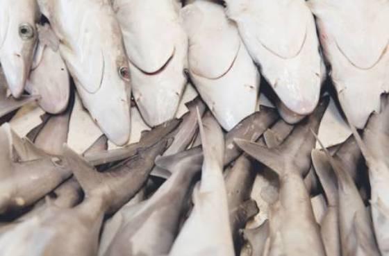 Dead sharks, Gulf Times