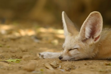 Cuteness is a curse for the adorable Fennec Fox