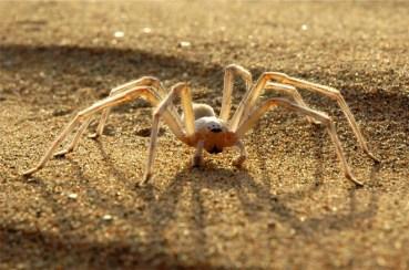 Moroccan desert spider flees predators in 6.6 ft back flips