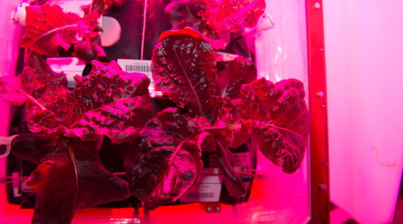 NASA lettuce grown in space heading to Dubai salad bars?