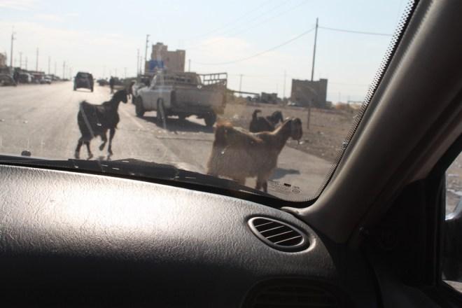 Driving with  Jordan goats