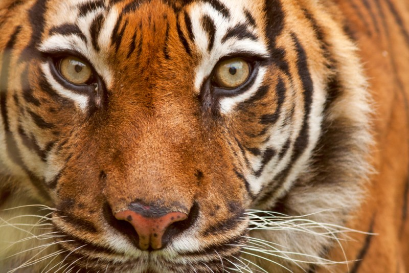 Fatwa saves tigers! Hunting rare creatures, dear Muslims, is now Haram