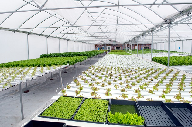 hidroponic lettuce farms