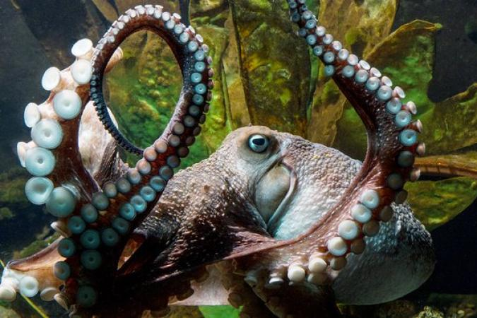 """Heavily-armed"" octopus escapes from aquarium!"