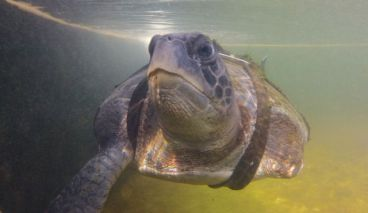 Paraplegic sea turtle lived without flippers for 4 years, then he got these